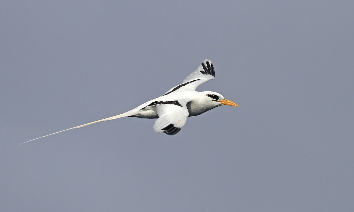 Foraging behavior and at-sea distribution of White-Tailed Tropicbirds in tropical ocean