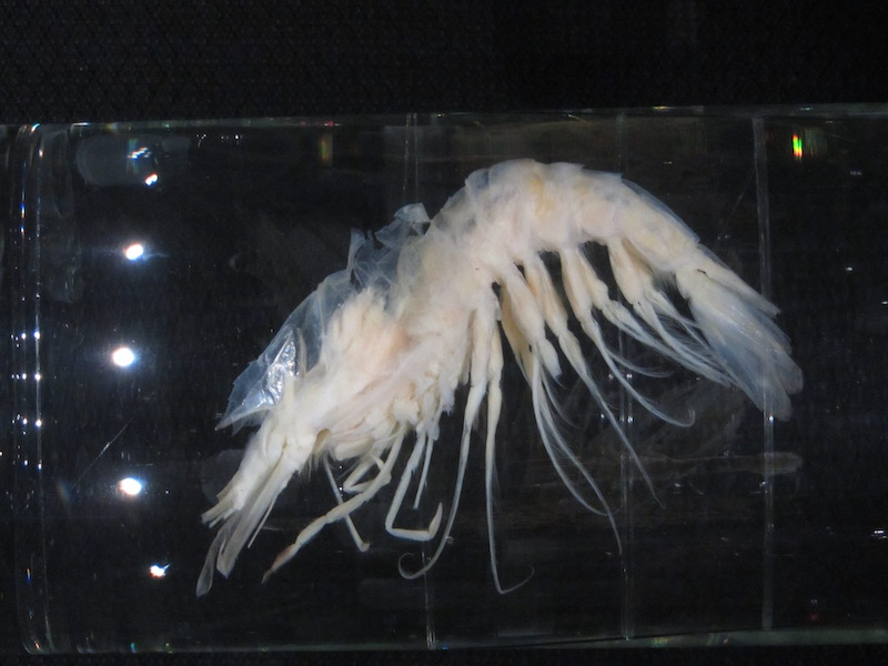 New records of deep-sea prawn of the genus Gennadas Spence Bate, 1881 (Crustacea: Decapoda: Benthesicymidae) from Southwestern Atlantic