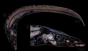 First record of the intermediate scabbardfish Aphanopus intermedius (Scombriformes: Trichiuridae) in the western South Atlantic Ocean