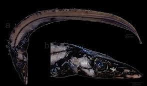 First record of the intermediate scabbardfish Aphanopus intermedius (Scombriformes: Trichiuridae) in the western South Atlantic Ocean