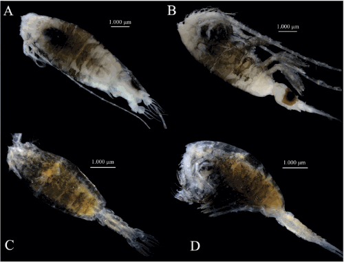 First record of a rare deep-sea copepod, Gaussia intermedia Defaye, 1998 (Calanoida, Metridinidae), from the Atlantic Ocean