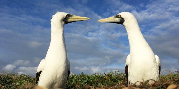Etude des oiseaux marins – Projet MAFALDA, Fernando de Noronha – LMI TAPIOCA  © IRD – Sophie Bertrand
