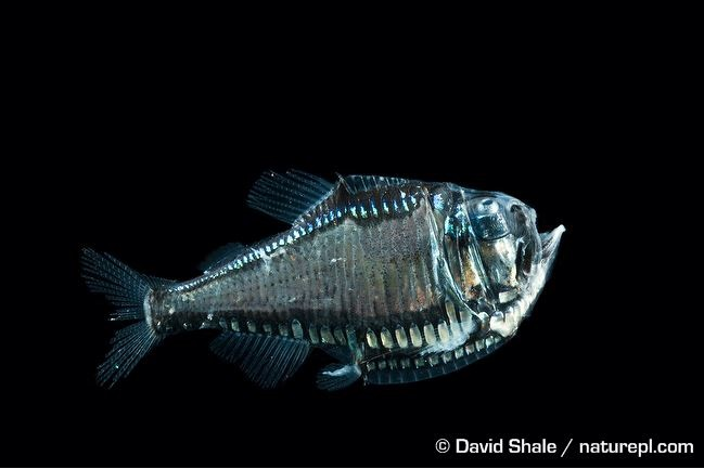 Length–weight relationships of eleven mesopelagic fishes from  oceanic islands of the Southwestern Tropical Atlantic