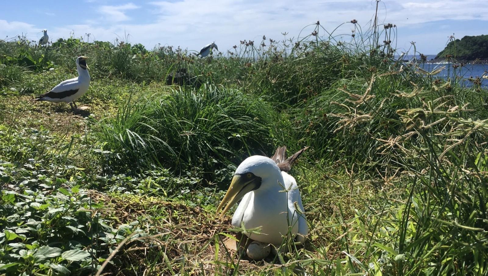 Pesquisa constata redução no número de ninhos de aves marinhas em Fernando de Noronha