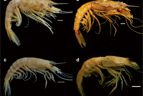 Meso- and Bathypelagic Prawns of the Superfamilies Penaeoidea Rafinesque, 1815 and Sergestoidea Dana, 1852 (Crustacea: Decapoda: Dendrobranchiata) from Southwestern Atlantic: New Records and Bathymetric Distribution