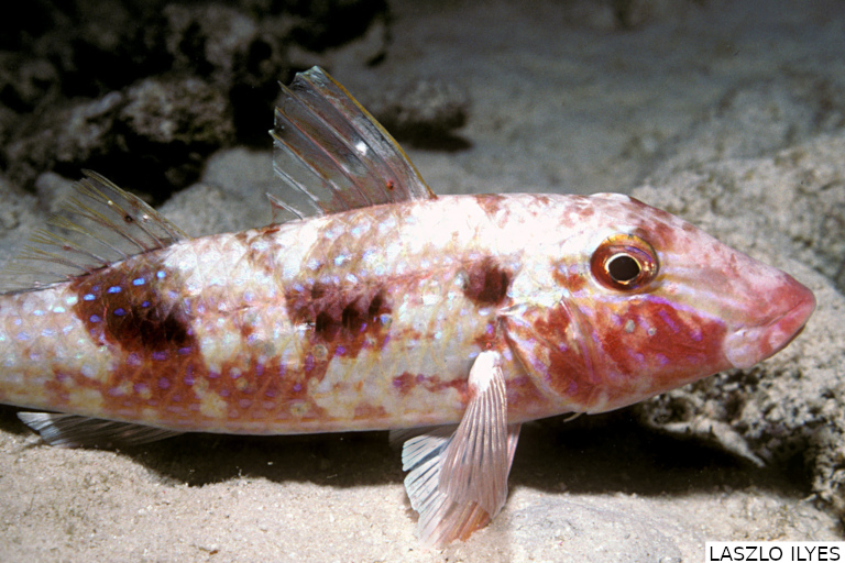 Feeding habits and population aspects of the spotted goatfish, Pseudupeneus maculatus (Perciformes: Mullidae), on the continental shelf of northeast Brazil