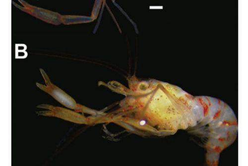 Nova espécie de camarão é registrada em homenagem ao cantor e compositor Chico Science