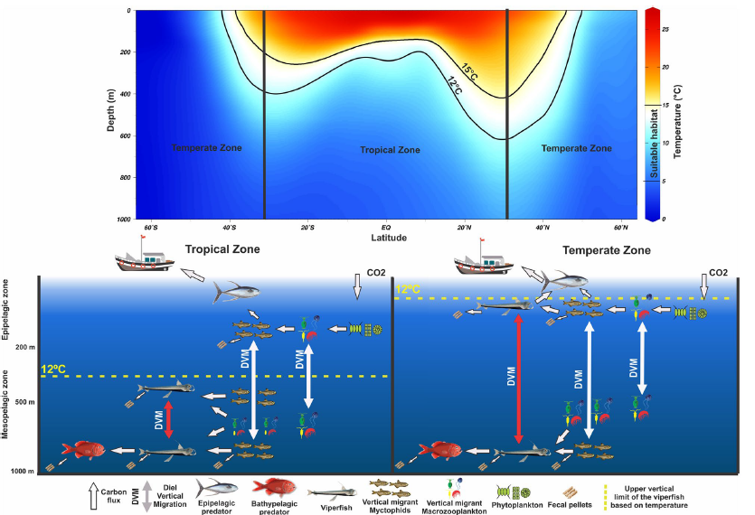 Trophic ecology, habitat, and migratory behaviour of the viperfish Chauliodus sloani reveal a key mesopelagic player
