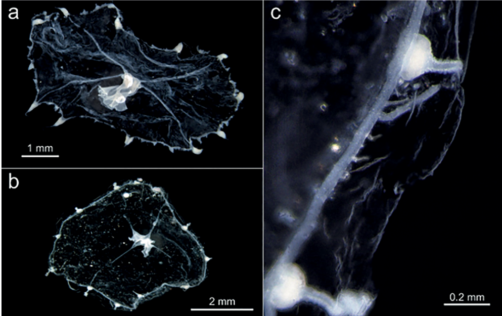 First record of Cirrholovenia polynema (Hydrozoa: Leptothecata) in the Western Atlantic Ocean