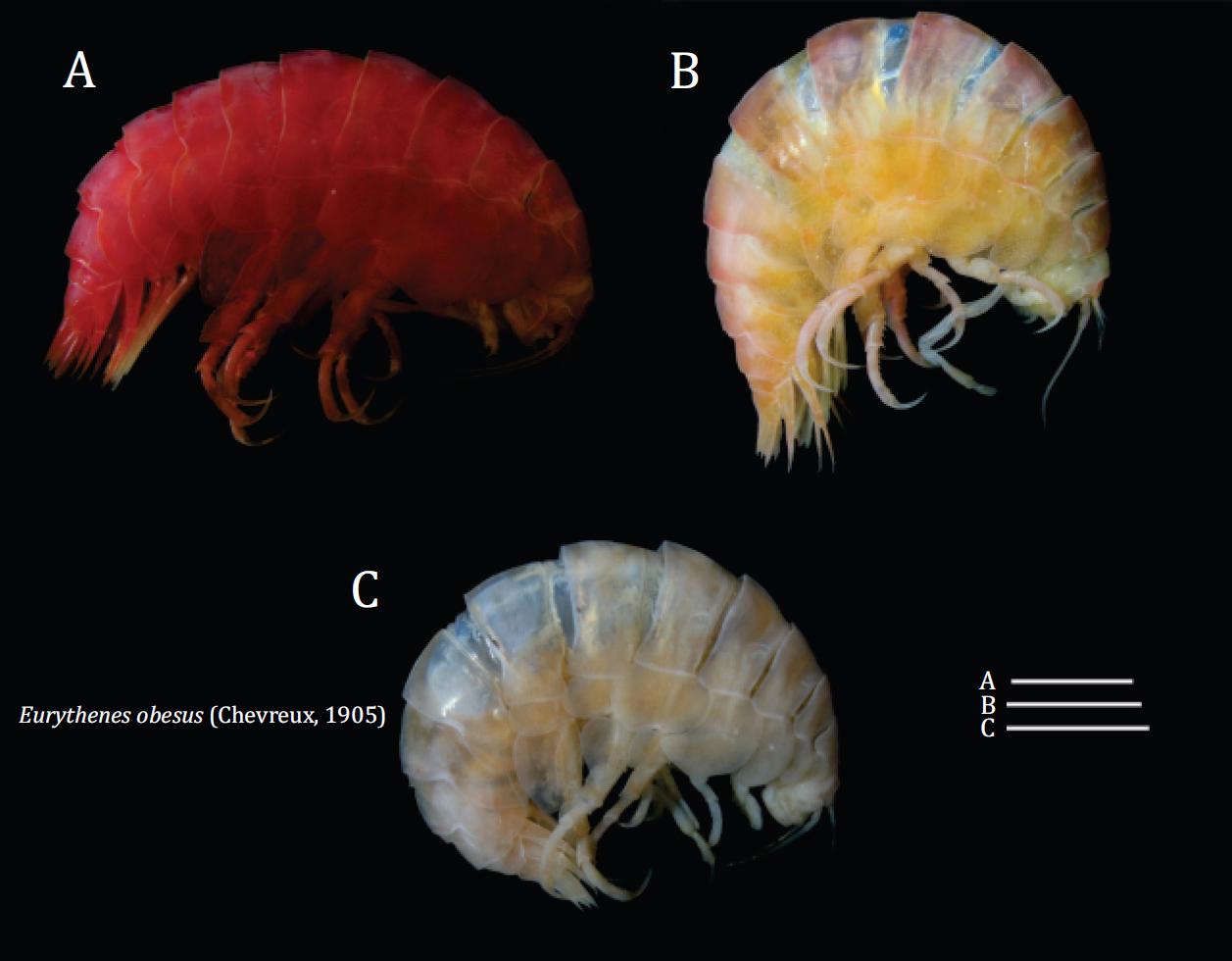 Further records of Eurythenes obesus (Chevreux, 1905) (Crustacea: Amphipoda: Eurytheneidae) from Brazilian deep waters