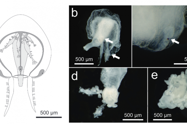 Teissiera polypofera: first record of the genus Teissiera (Hydrozoa: Anthoathecata) in the Atlantic Ocean